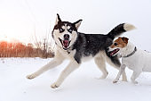 Siberian husky and jack russel terrier
