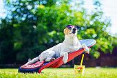 Jack russel terrier dog lies on a deck-chair