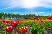 Mountain, Trees and Tulip flowers field