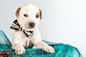 Mixed breed puppy with bow tie hoping to be adopted