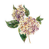 Watercolor Vintage Floral Greeting Card with Blooming White Hydrangea, Watercolor botanical natural hydrangea Illustration