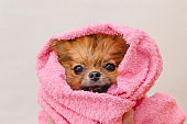 lovely small pomeranian dog in a pink towel after bath, grooming