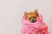 lovely pomeranian dog in a pink towel after bath, grooming, copy space