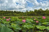 Pink Paradise. Lotus blossom on the lake.