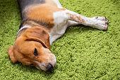 Beagle lying o a green carpet