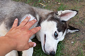 Husky puppy playing with owner