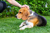 Beagle and owner outdoor