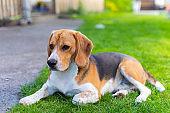 Cute tricolor beagle puppy