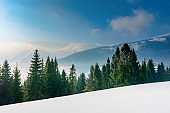 spruce forest on a snow covered mountain meadow