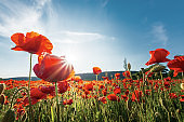 poppy field on a sunny afternoon