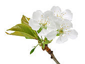 Cherry blossom and leaves isolated on white