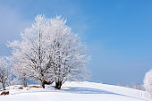 tees in hoarfrost on a snow covered meadow
