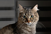 Cute young tabby cat looking at