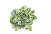 Fittonia albivenis plant isolated top view