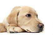 Portrait of an adorable Labrador Retriever puppy looking sad