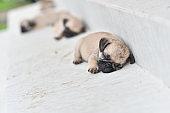 Sleeping cute Pug