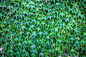 Dark green ivy vines creeper plant growing on wall.