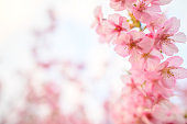 Beautiful Japan Sakura  flower under sunlight