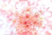Beautiful Japan Sakura  flower