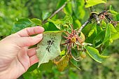 Spring season, cherry tree, close-ups of insects aphid pests