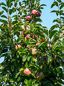 Fresh ripe apples hanging from a tree in the summer season, ready for harvest
