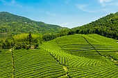 Green tea garden on hill