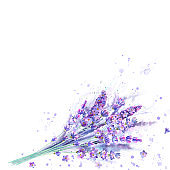 Watercolor lavender bouquet. Lavender flowers, plants and watercolour splashes on white background