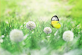 Summer background. Green grass, white flower and butterfly on the meadow