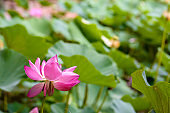 Blossoming Sacred Lotus Nelumbo Nucifera in a pond with many leaves in the background