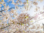 Sakura Flower or Cherry Blossom With Beautiful Nature and Sun Light in Background.