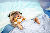 Cute Puppy Pug Dog Sleeping Rest in Bed Wrap with Blanket with Favorite Toy and Tongue Sticking Out