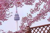 Beautiful flowers Cherry blossom in spring and namsan Seoul Tower softly blurred background