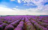 Beautiful lavender fields on a sunny day. lavender blooming scented flowers. Field against the sky. Moldova