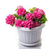 Pink blossoming Hydrangea macrophylla