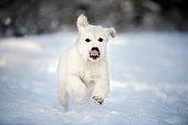 happy golden retriever puppy running in the snow