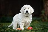 golden retriever puppy standing outdoors