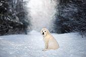 golden retriever puppy outdoors in winter