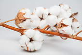Branch of cotton plant on grey background