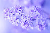 Lilac, soft selective focus. Beautiful tender spring flowers.