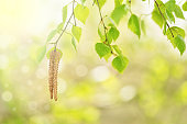 Fresh young leaves and birch earrings in the sunlight on a beautiful blurred background. Spring beautiful background. Selective focus.
