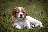 cute and curious brown and white brittany spaniel baby dog, puppy portrait isolated exploring