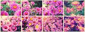 Autumn Flower - Chrysanthemum (CHRYSANTHEMUM). Beautiful collage of photos, panorama. Toning style instagram.