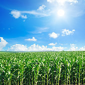 Green field with corn. Blue cloudy sky and sun