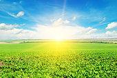 Green beet field and sun on blue sky.