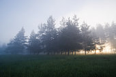 Peaceful scene with pine trees in fog in summer morning