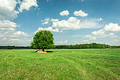 Single big tree on green meadow, forest on horizon and white clouds on blue sky