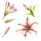 Set of buds, flowers and leaves of lilies. Hand draw watercolor illustration.