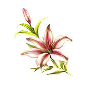 The image of a lilies. Hand draw watercolor illustration