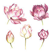 Set with flowers lotus. Hand draw watercolor illustration