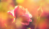Beautiful floral summer or springtime natural background with blossom pink roses, copy space, border, selective soft focus
